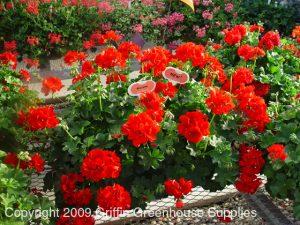 Flowering annual plant geranium