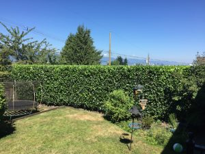 Hedge trim - English laurel