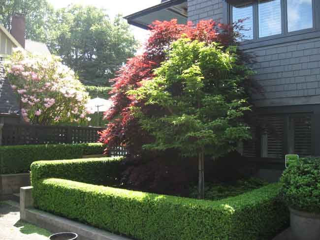boxwood-hedge-and-small-tree pruning