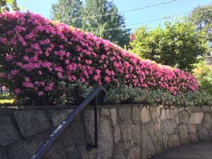 Azalea flowering hedge