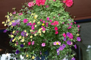 Hanging basket flowering annuals