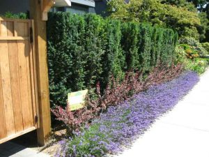 yew-barberry-lavender-border hedge installation