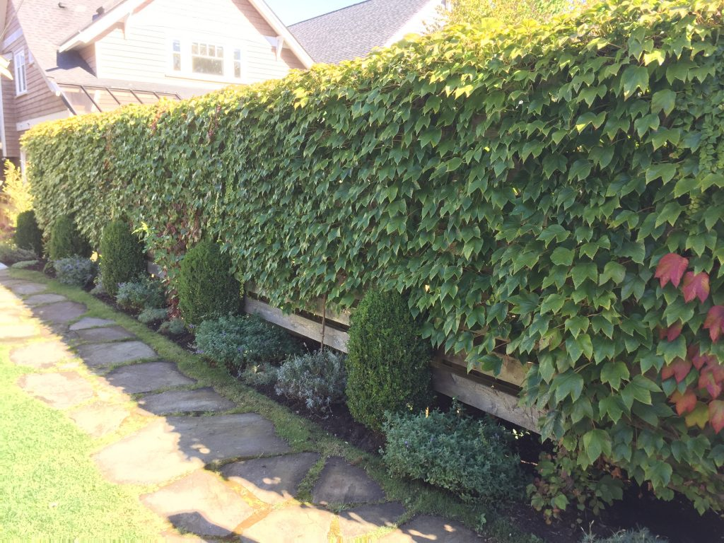 Living fence vine covered cedar fence vancouver bc